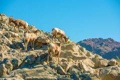 California Bighorn Sheeps Royalty Free Stock Photography