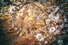 California Blossom Trail. The freshly blooming white blossoms on the California Blossom Trail stock photo