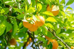 California bright orange fruit tree in downtown sacramento in ca. Lifornia royalty free stock photos