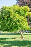 California bright orange fruit tree in downtown sacramento in ca. Lifornia royalty free stock images