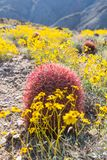 California Brittlebush Surround Barrel Cactus Stock Photography