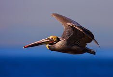 California Brown Pelican Royalty Free Stock Photos