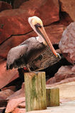 California Brown Pelican closeup resting on a pier Royalty Free Stock Images