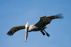 California Brown Pelican in flight Royalty Free Stock Images