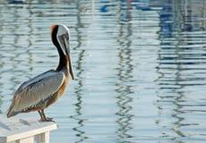 California Brown Pelican (Pelecanus occidentalis). A California Brown Pelican relaxes at a San Diego Marina Stock Photos