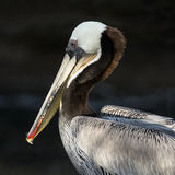 California Brown Pelican Portrait Royalty Free Stock Image