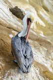 A California brown pelican sits alone grooming stock images