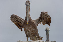California brown pelican spreading its wings Stock Photography