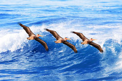 California brown pelicans in flight ~ Pelecanus. Three California brown pelicans in flight over pacific ocean waves ~ Pelecanus occidentalis Stock Image