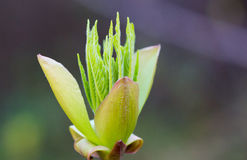 California Buckeye Leaf Buds Stock Images