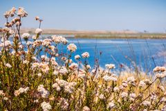 California Buckwheat Eriogonum fasciculatum wildflowers on the shores of a lake. California Buckwheat Eriogonum fasciculatum wildflowers, San Francisco bay area stock photos