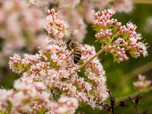 California Bumblebee Collecting Wildflower Pollen at at Laguna Coast Wilderness Park, Laguna Beach, Royalty Free Stock Image