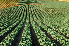California Cabbage Field Stock Images