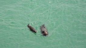 California Carmel, marine otter floats on its back stock footage