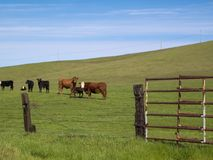 California Cattle at Folsom Ranch. Cattle grazing in a now lost Folsom Ranch under a winter sky Stock Photos