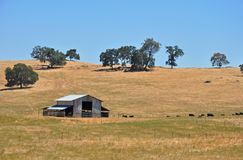 California cattle ranch. Barn with black angus cattle grazing on hot summer day stock image