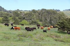 California cattle ranch. Marin County cattle ranch in California, USA. Grazing cows stock image