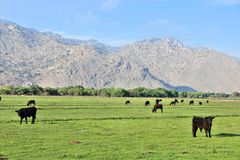 California cattle ranch. California, United States - cattle ranch with Scodie Mountains in the background (part of Sierra Nevada). Kern County Stock Photos