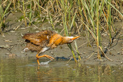 California Clapper Rail Stock Image