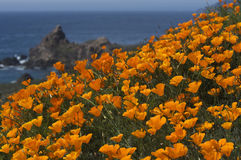 California Coast in Spring. With wild Golden Poppies near Big Sur Royalty Free Stock Photo