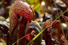 California cobra lily (Darlingtonia californica). Closeup of the California pitcher plant, or cobra lily (Darlingtonia californica) with light shining through it Royalty Free Stock Images