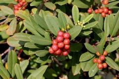 California coffeeberry California buckthorn, Frangula californica Stock Images