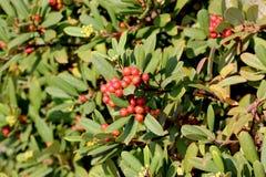 California coffeeberry California buckthorn, Frangula californica Stock Image