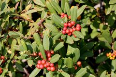 California coffeeberry California buckthorn, Frangula californica Stock Photo
