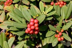 California coffeeberry California buckthorn, Frangula californica Royalty Free Stock Images