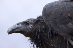 California Condor Royalty Free Stock Photos
