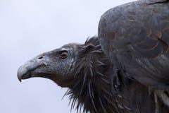 California Condor royalty free stock photos