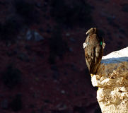California Condor. On Cliff at Grand Canyon in Arizona Royalty Free Stock Image