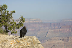 California Condor Royalty Free Stock Images
