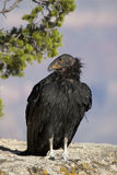 California Condor Stock Image