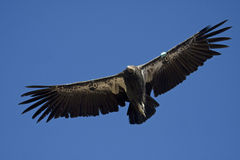 California condor. Endangered California condor flying with a blue sky background Royalty Free Stock Photography