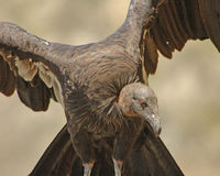 California condor. Among the rarest birds in the world... There are only a couple of hundred of these left Royalty Free Stock Photo