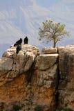 California Condor At Grand Canyon Royalty Free Stock Image