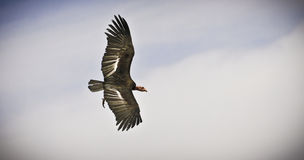 California Condor Flying High Above Stock Images