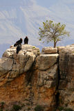 California Condor at Grand Canyon royalty free stock image