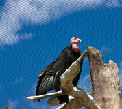 California Condor Royalty Free Stock Photo