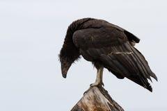California condor (Gymnogyps californianus) Royalty Free Stock Photo