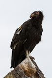 California condor (Gymnogyps californianus) Stock Photography