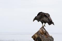 California condor (Gymnogyps californianus) Stock Images