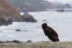 California condor (Gymnogyps californianus) Stock Photo