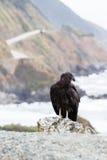 California condor (Gymnogyps californianus) Royalty Free Stock Photography