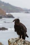 California condor (Gymnogyps californianus) Royalty Free Stock Image