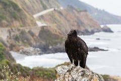 California condor (Gymnogyps californianus) Stock Photos