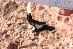 California condor Stock Photography