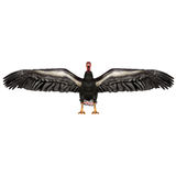 California condor Royalty Free Stock Image