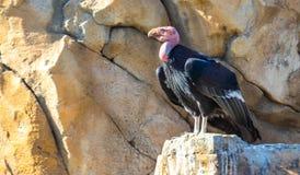 California Condor. A California condor surveys its surrounds on a rocky outcrop royalty free stock photos